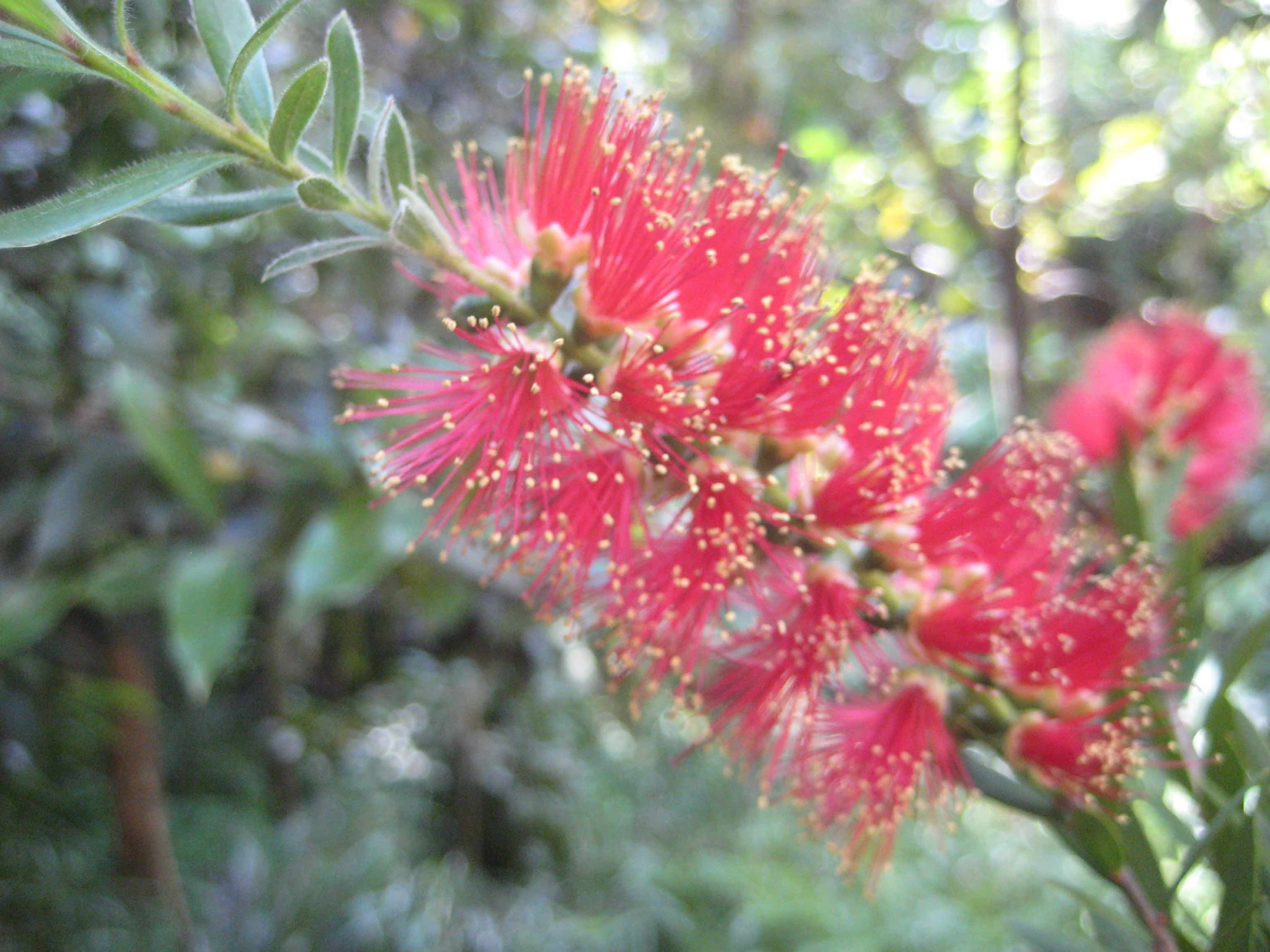 bottlebrush-e1460629245987